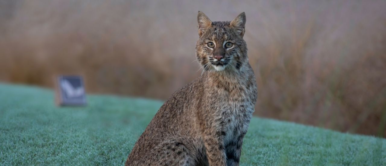 Bobcat sitting on golf course